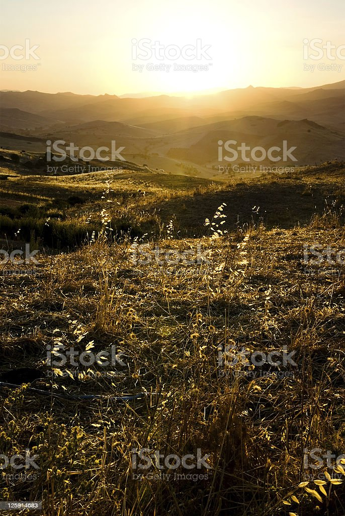 Backlight for stalks of oats on rural to sunset royalty-free stock photo