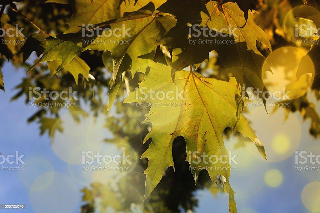 Backlight green platan tree stock photo