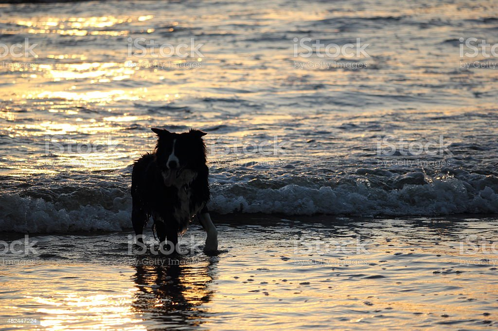 Backlight silhouette of dog walking on a foreshore. stock photo