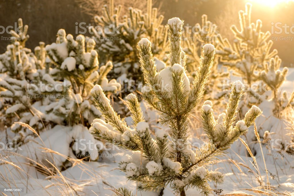 Backlighted by sunrays young fir-tree in snow stock photo