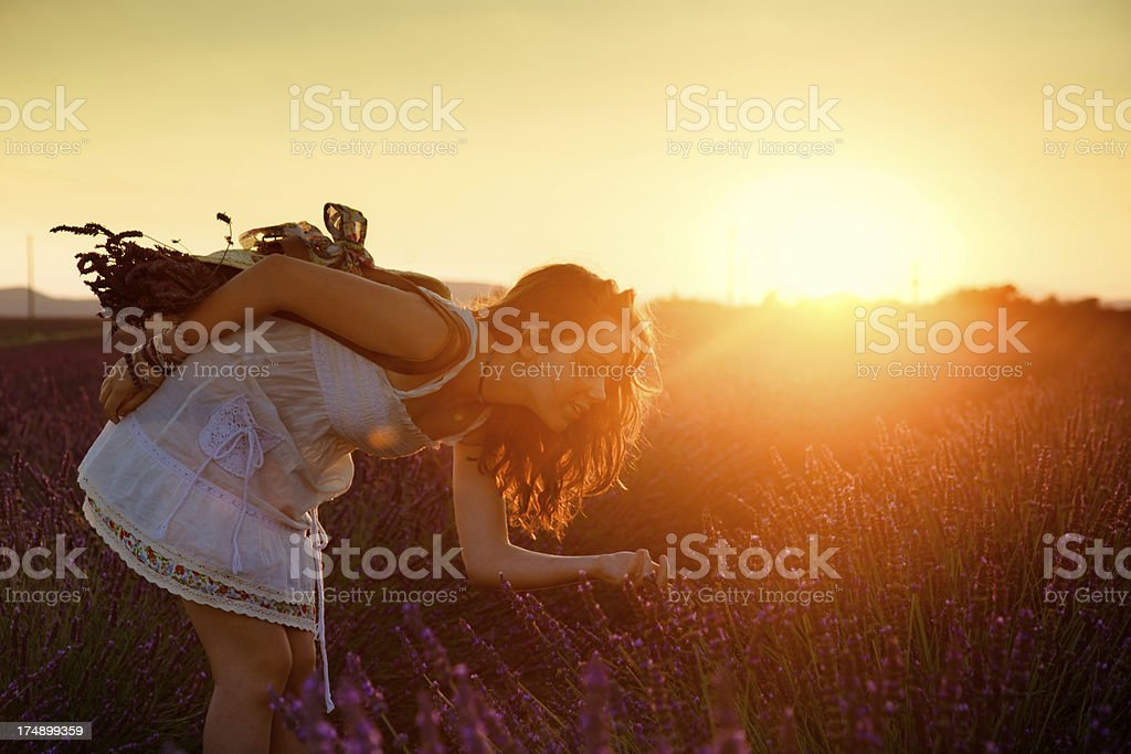 Backlighted girl gatherin lavender stock photo