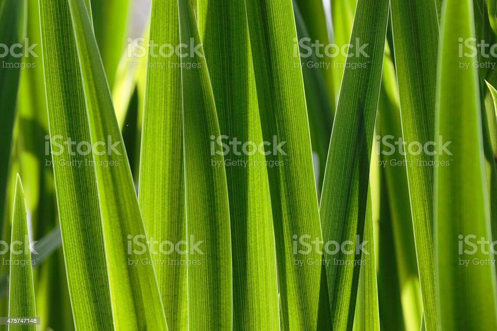 Leafy green background yellow flag iris in spring stock photo