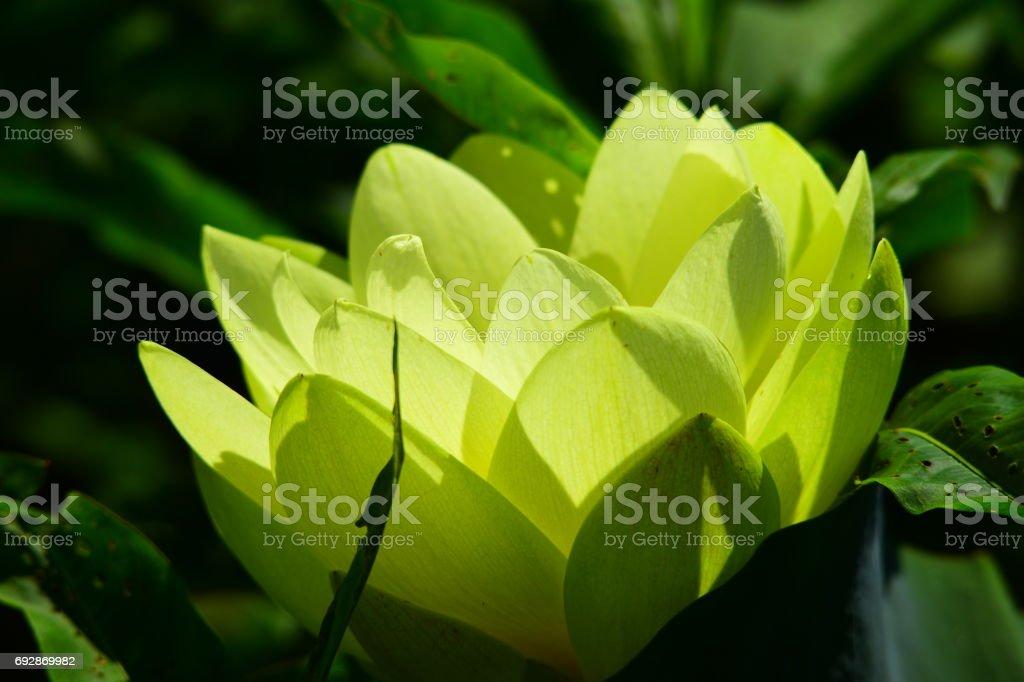 Backlit American Lotus flower with overlapping petals stock photo