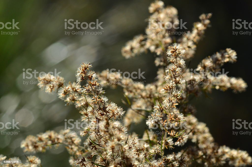 Backlit aster seeds with light rings in background stock photo