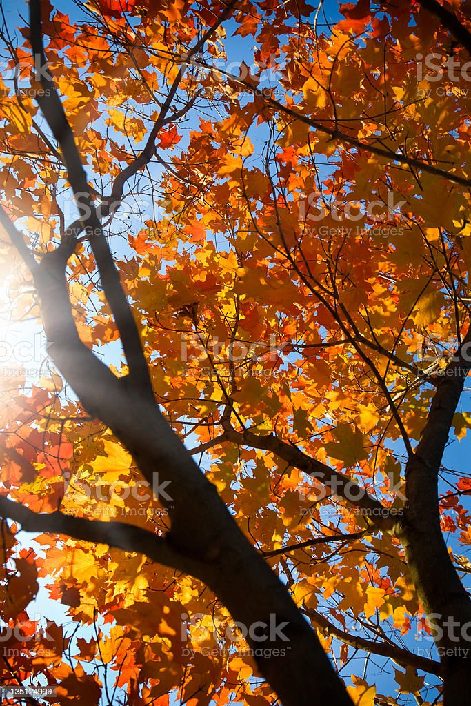 Backlit Autumn Maple Leaves royalty-free stock photo
