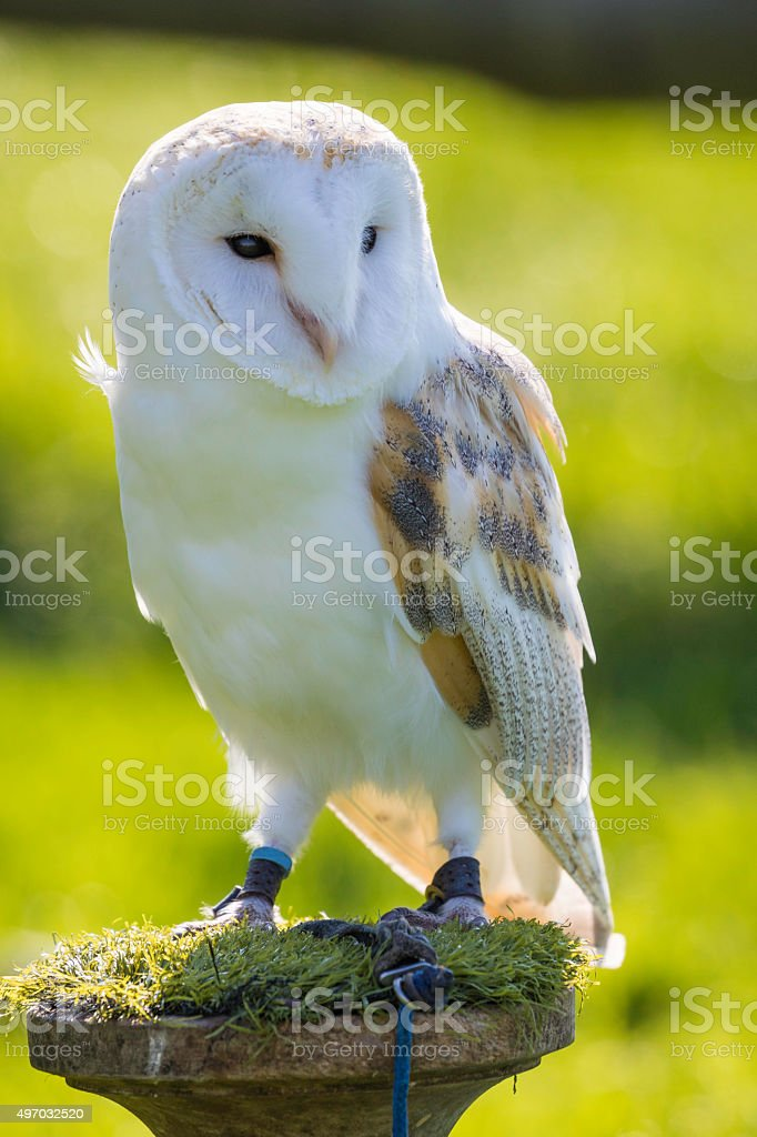 Backlit Barn Owl stock photo