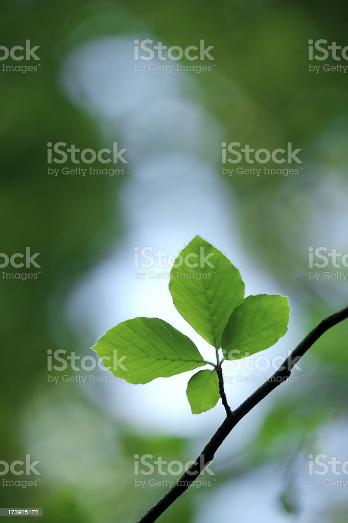 Backlit beech leaves royalty-free stock photo