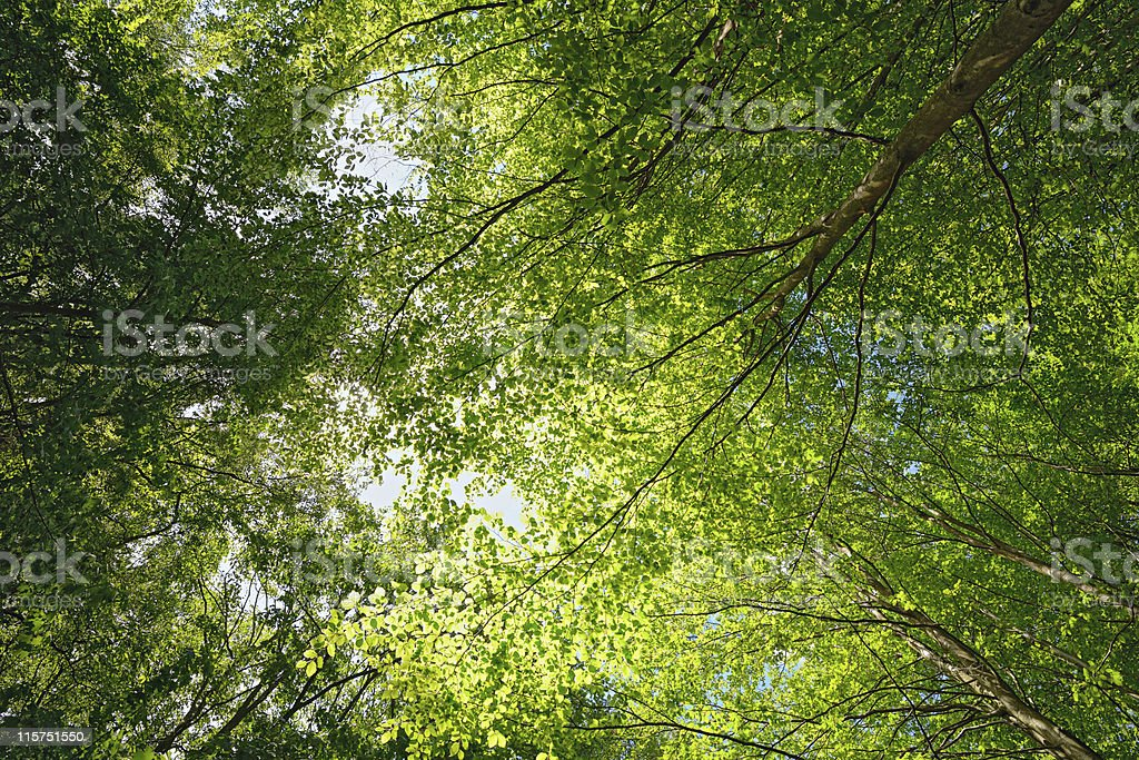 Backlit beech tree canopy on a sunny  day. royalty-free stock photo