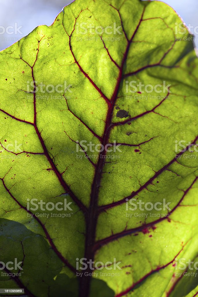 backlit beetroot leaf with red veins stock photo