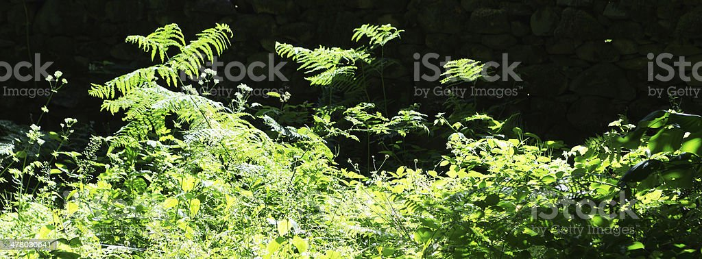 Backlit Bracken growing in the English Lake District royalty-free stock photo