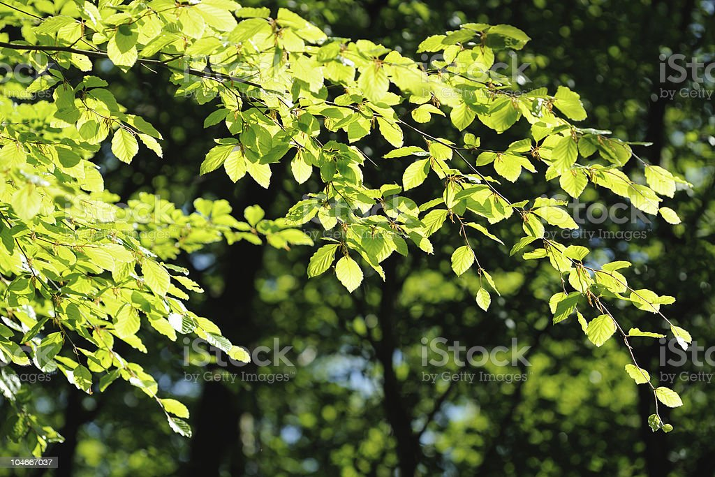 Backlit branch of beech tree in a wood royalty-free stock photo