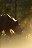 Backlit brown bear. Bear against a sun. Lit by evening sun.