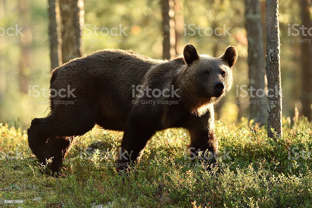 Backlit brown bear. Brown bear walking in backlit at summer. stock photo