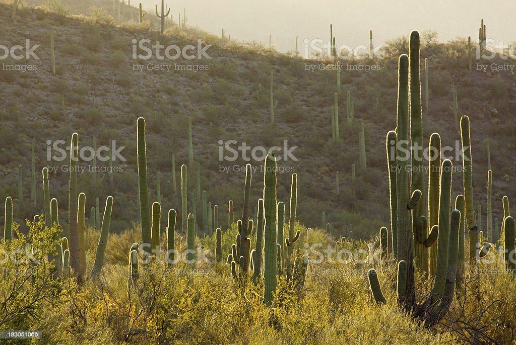 Backlit Cacti stock photo