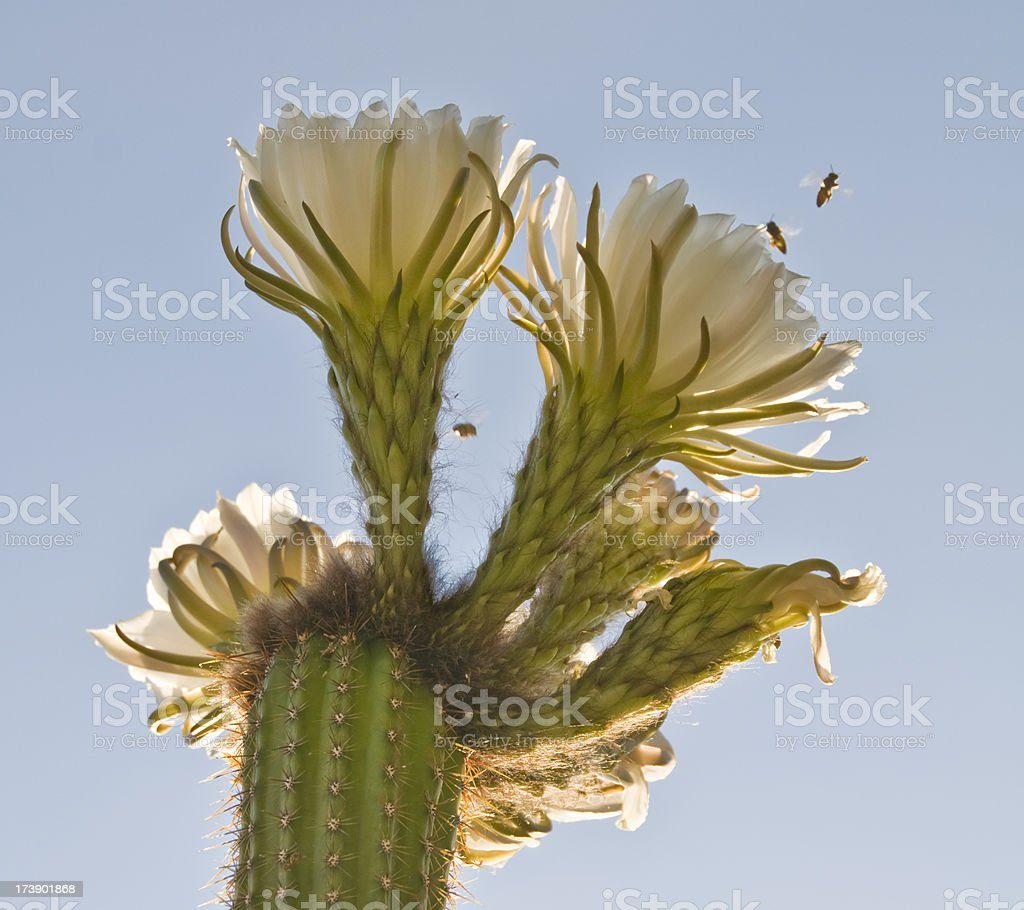 Backlit Cactus Flowers with Bees royalty-free stock photo