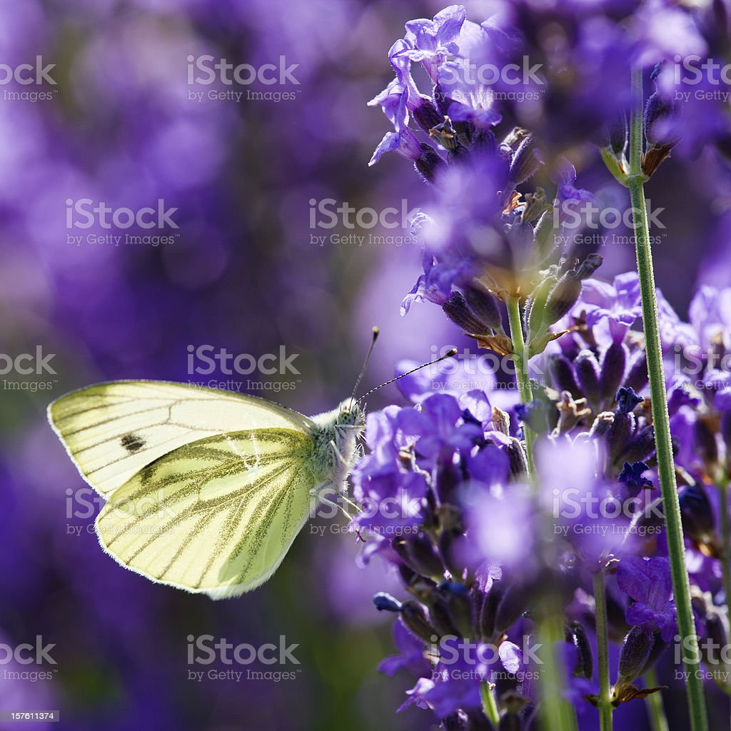 Backlit close-up of small white butterflly (Pieris rapae) on lavender royalty-free stock photo