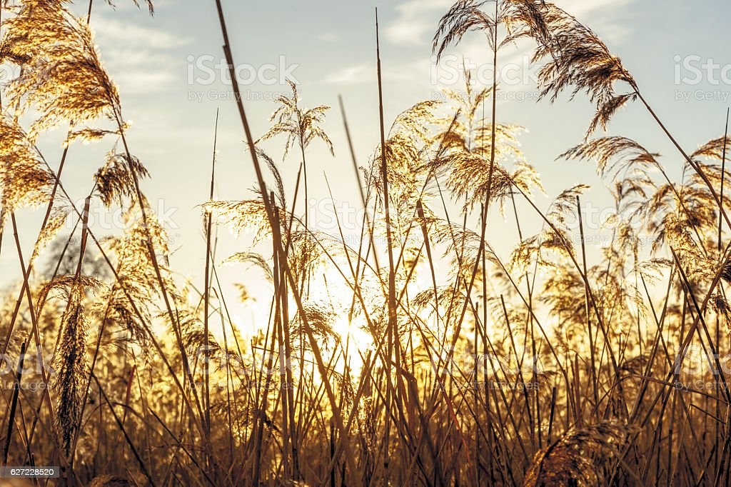 Backlit dried reeds in early winter. stock photo