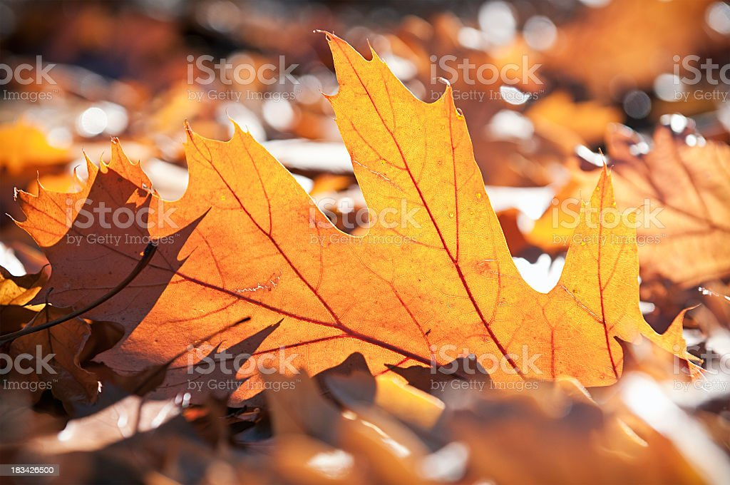 Backlit Fallen Leaves royalty-free stock photo