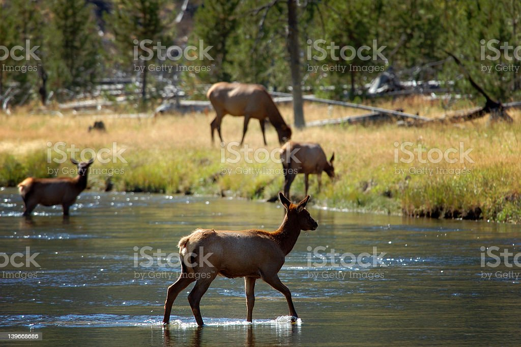 Backlit Female Elk Crossing Stream Center stock photo