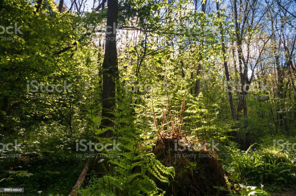 Backlit Ferns stock photo