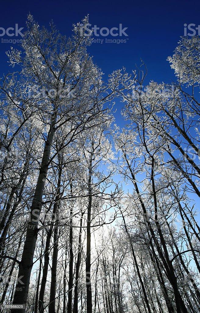 Backlit Frosty Poplars royalty-free stock photo