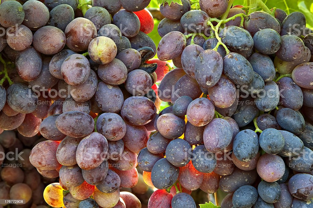 Backlit grapes on the vine stock photo