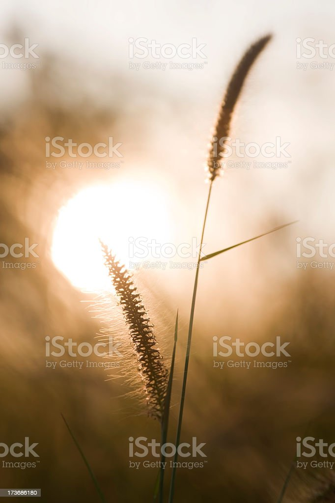 Backlit grass background. stock photo