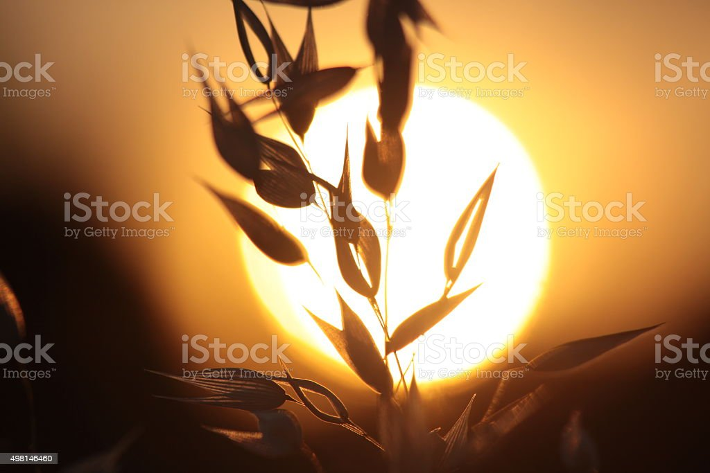 Backlit Grasses stock photo