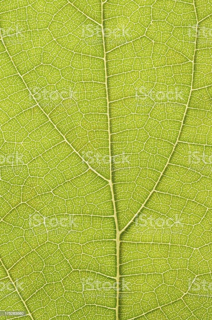 Backlit green leaf royalty-free stock photo