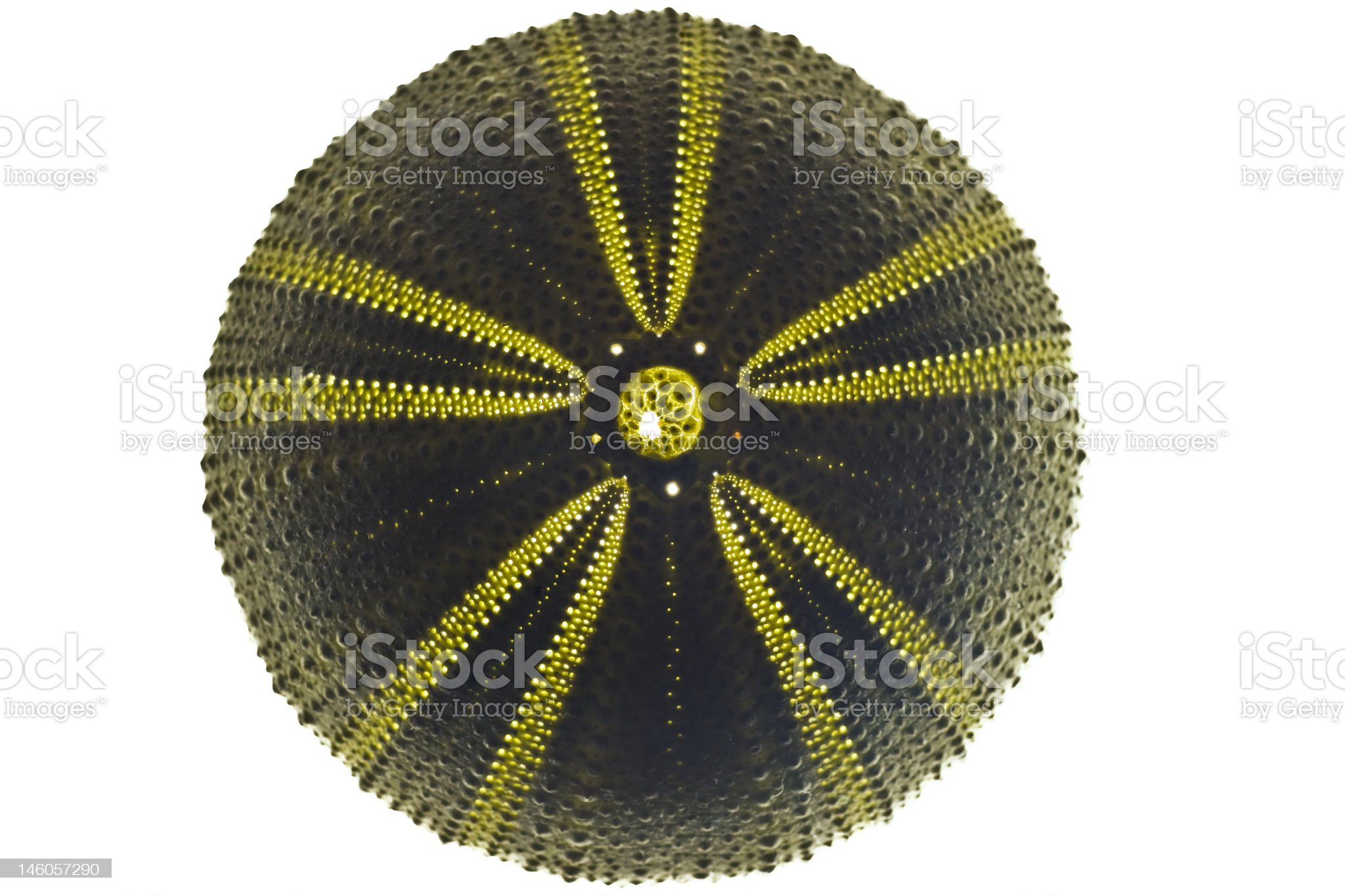 backlit green sea urchin royalty-free stock photo