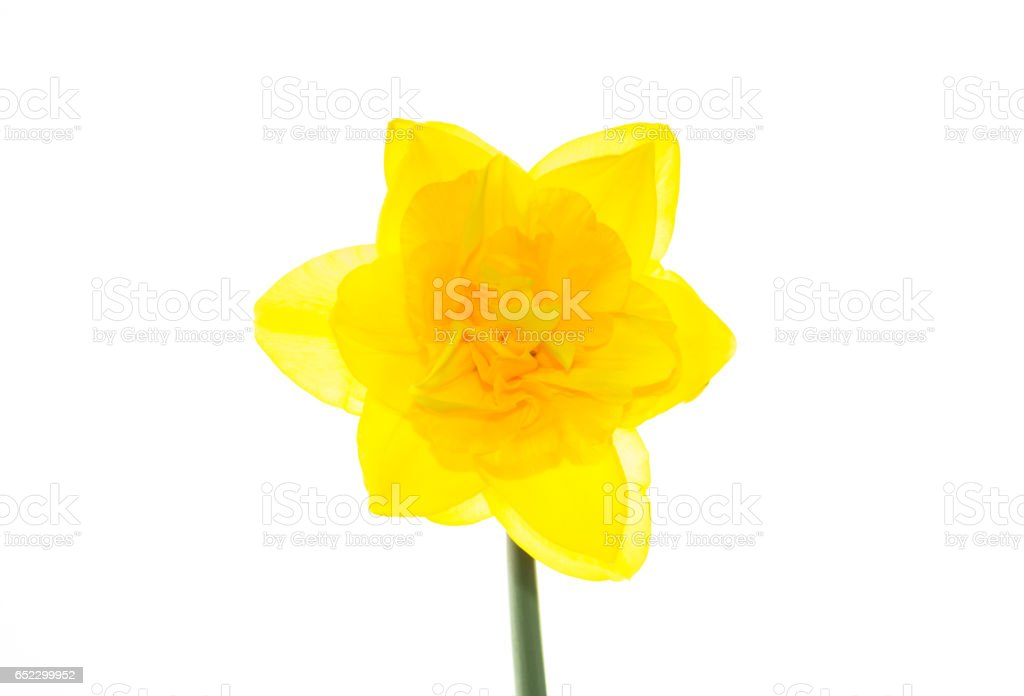 Backlit Head of a Double Daffodil stock photo