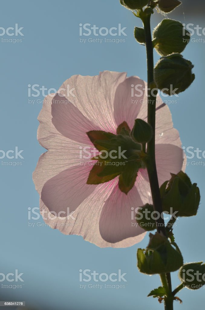 Backlit hollyhock flower with out petal casting shadows stock photo