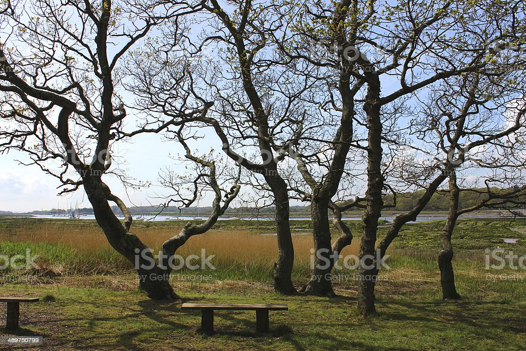 Backlit image of oak trees growing as group by river stock photo