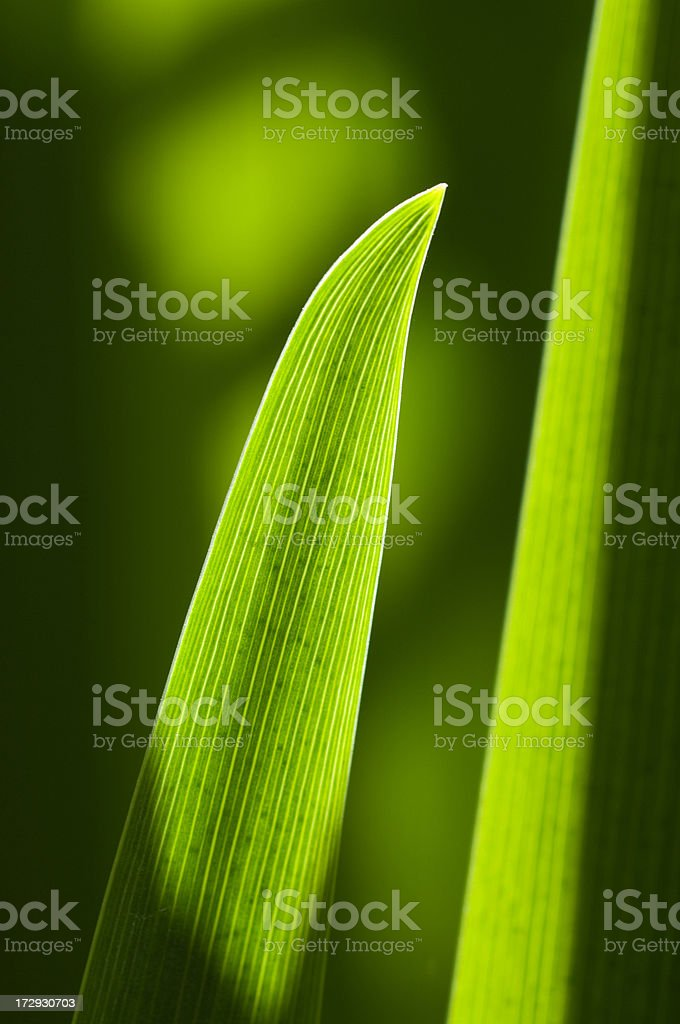 Backlit iris leaf stock photo