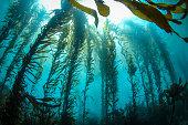 Backlit Kelp Forest