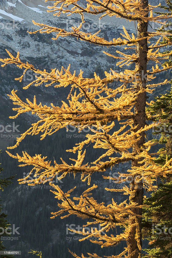 Backlit Larch Tree royalty-free stock photo