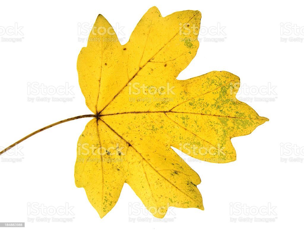 Backlit Leaf of maple royalty-free stock photo