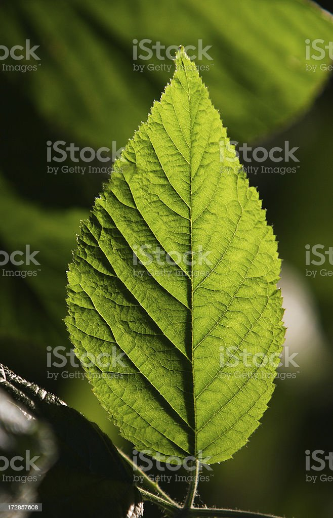 Backlit Leaf stock photo