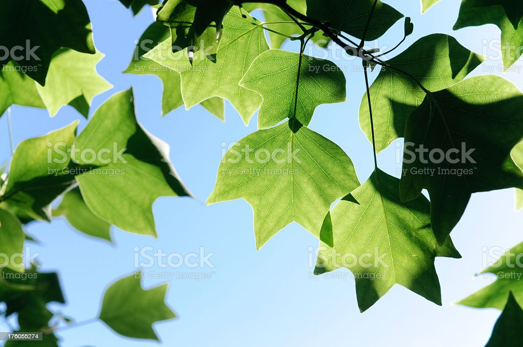 Backlit Leaves in Spring royalty-free stock photo