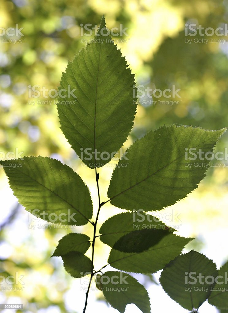 Backlit Leaves stock photo