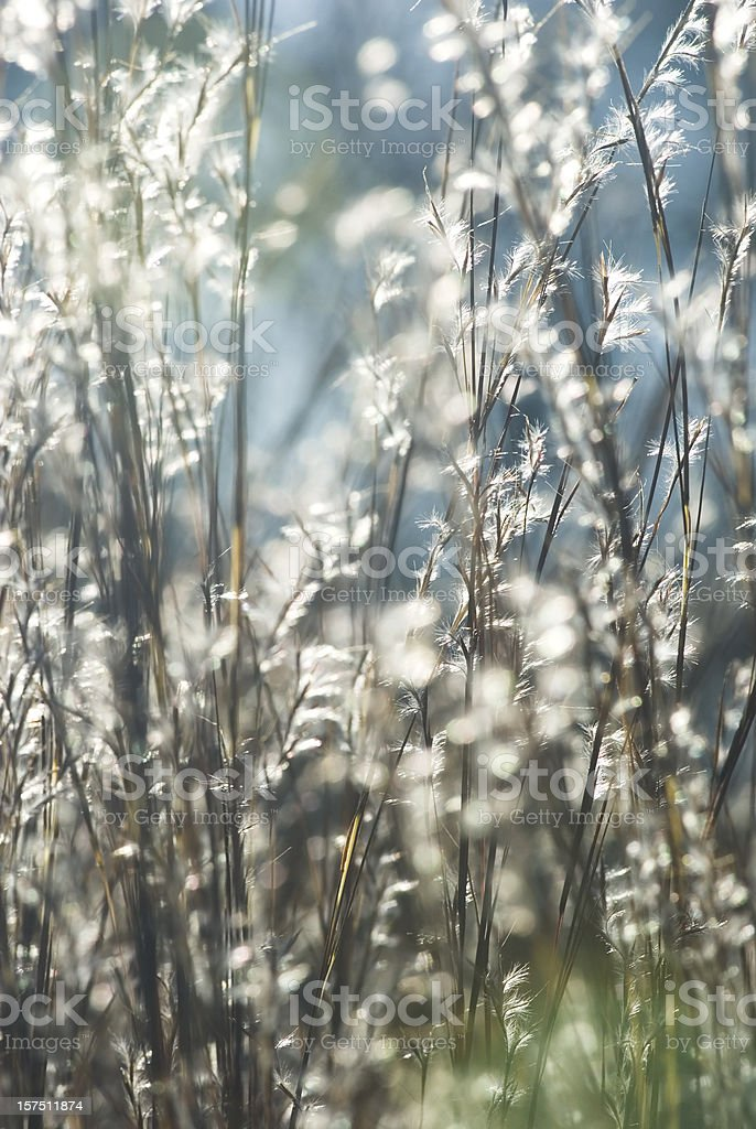 Backlit Little Bluestem grass (Schizachyrium scoparium) - II royalty-free stock photo