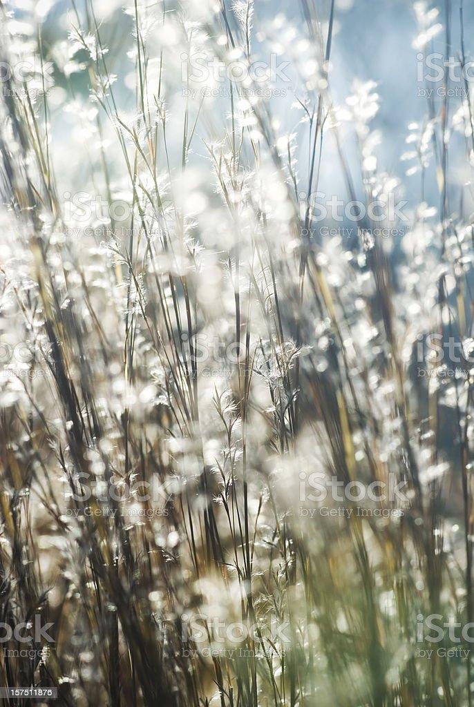 Backlit Little Bluestem grass (Schizachyrium scoparium) - III royalty-free stock photo