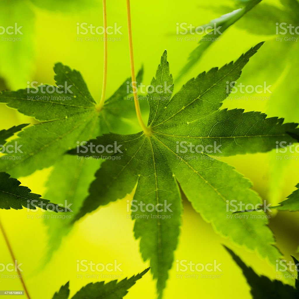 Backlit maple leaves royalty-free stock photo