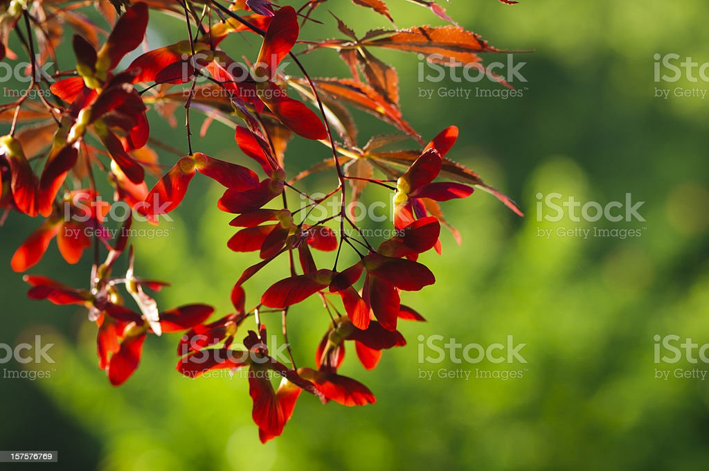 Back-lit maple seeds royalty-free stock photo