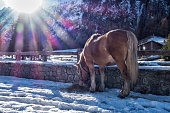 Backlit mule in the snow