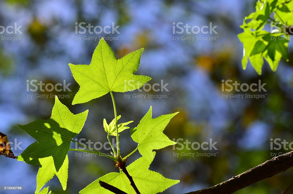Backlit new palmate leaves of a sweetgum tree stock photo