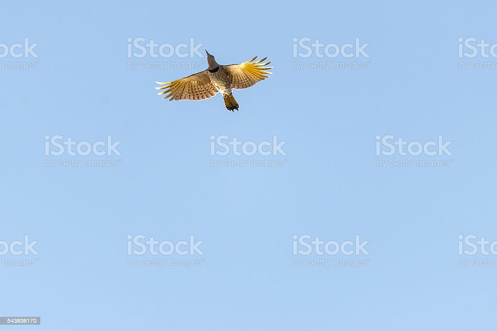 Backlit Northern Flicker from below stock photo