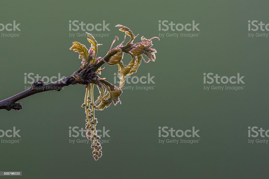 Backlit oak flowers stock photo