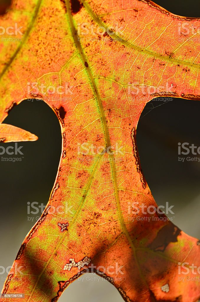 Backlit oak leaf underside with fall colors and bright veins stock photo
