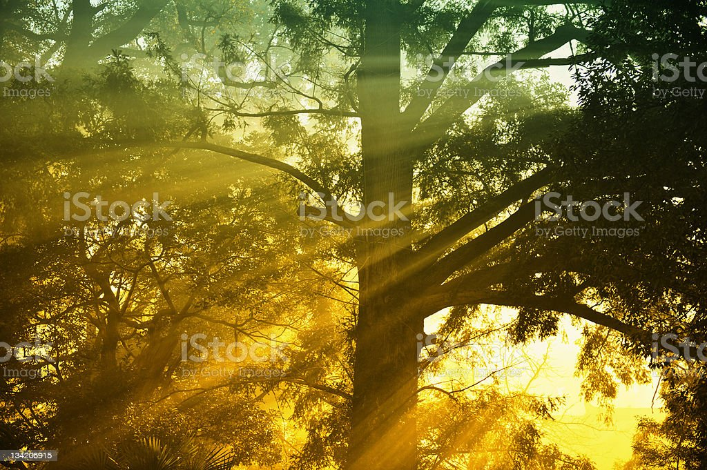 Backlit Oak Tree in Morning Mist on Meadow at Sunrise royalty-free stock photo